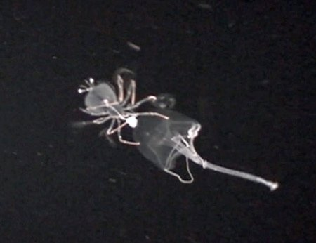 Larval crab on jellyfish