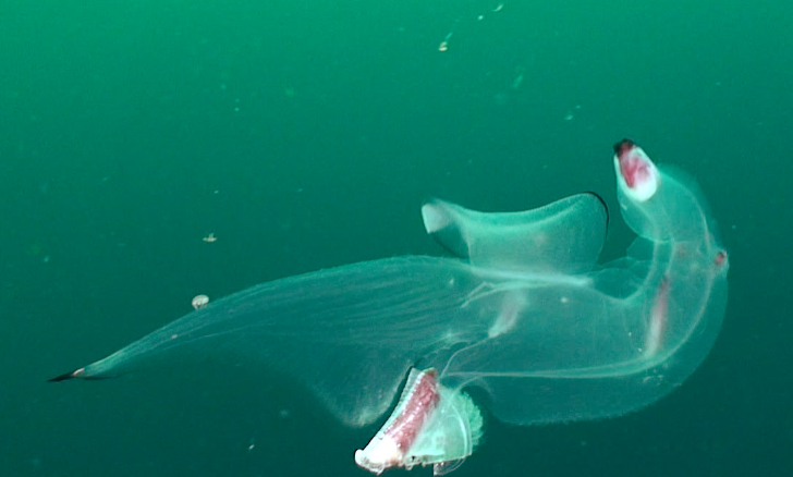 Heteropod, a voracious devourer of other gelatinous critters